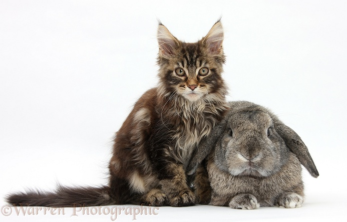 Tabby Maine Coon kitten, Logan, 12 weeks old, with an agouti Lop rabbit, white background