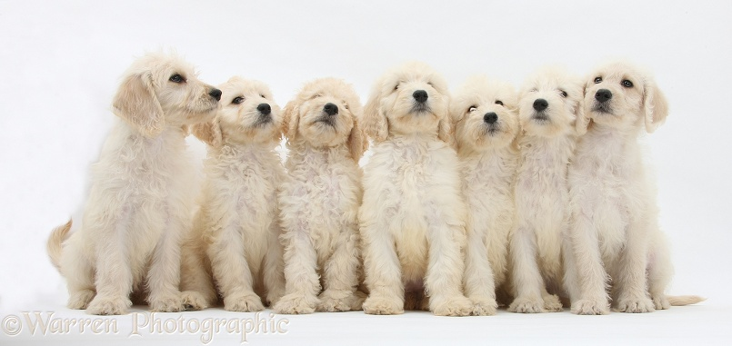 Seven Labradoodle pups, 9 weeks old, white background