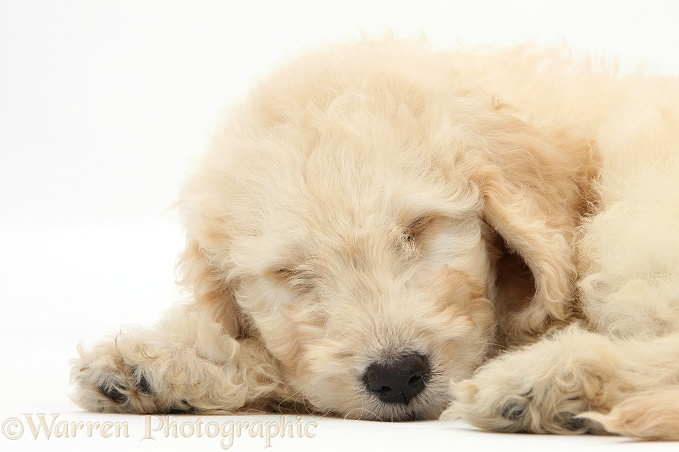 Sleepy Labradoodle pup, 9 weeks old, white background