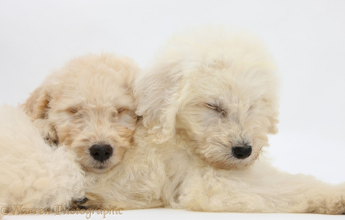 Sleepy Labradoodle pups, 9 weeks old, white background