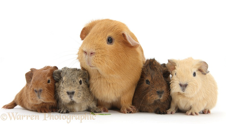 Red mother Guinea pig with four colourful babies, white background