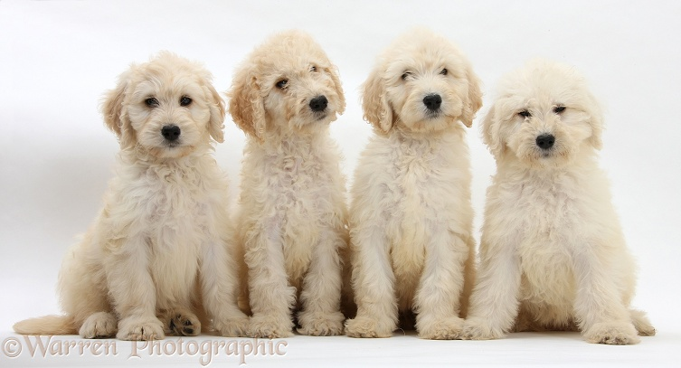Four Labradoodle pups, 9 weeks old, white background