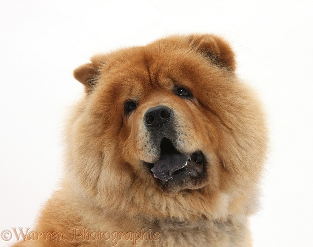 chow chow dog photo   wp21642