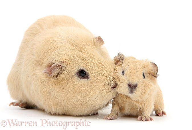 Yellow mother and baby Guinea pigs, white background