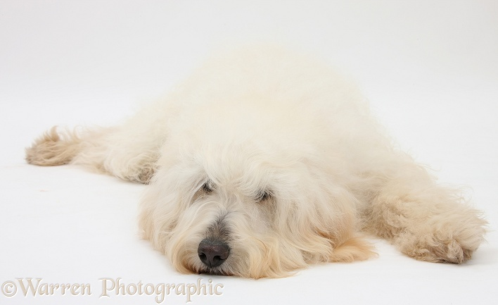 White Labradoodle bitch lying with her chin on the floor, white background
