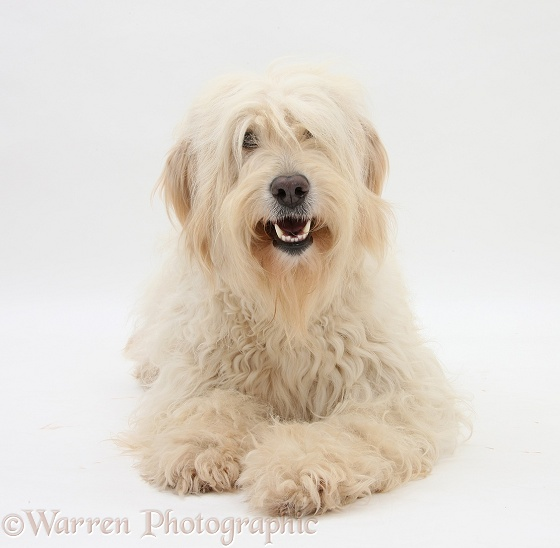 White Labradoodle bitch, white background