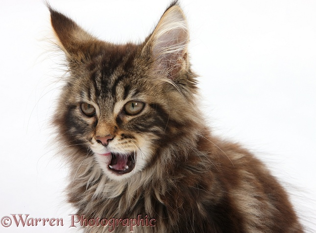 Tabby Maine Coon kitten, Logan, 12 weeks old, white background