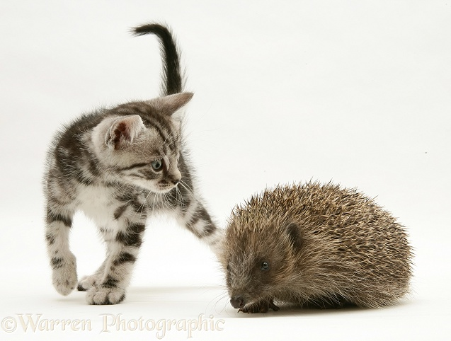 Silver tabby kitten inspecting a Hedgehog, white background