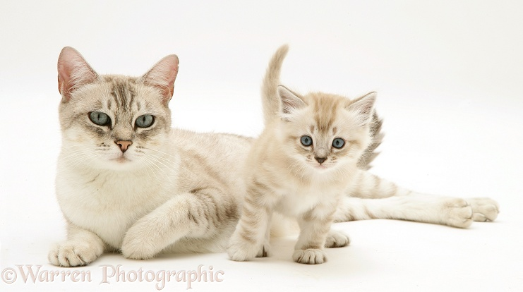 Birman-cross mother cat and kitten, white background