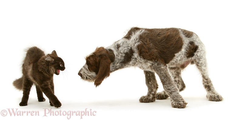 Chocolate Birman-cross cat alarmed by Brown Roan Spinone pup, Wilson, 12 weeks old, white background
