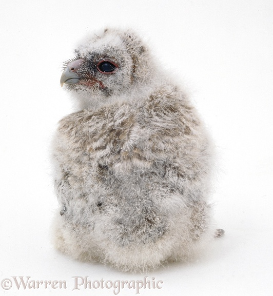 Tawny Owl (Strix aluco), downy owlet, about 2 weeks old, white background