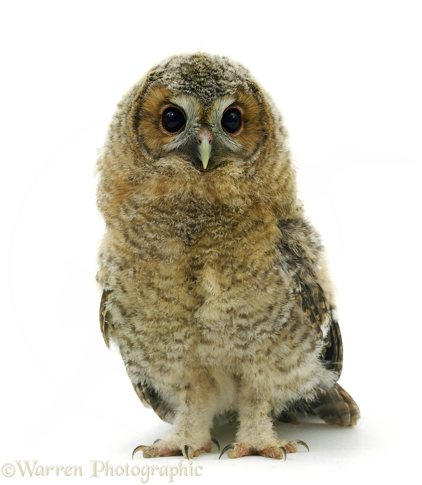 Tawny Owl (Strix aluco) owlet, 7 weeks old, with wing and tail feathers well grown, white background