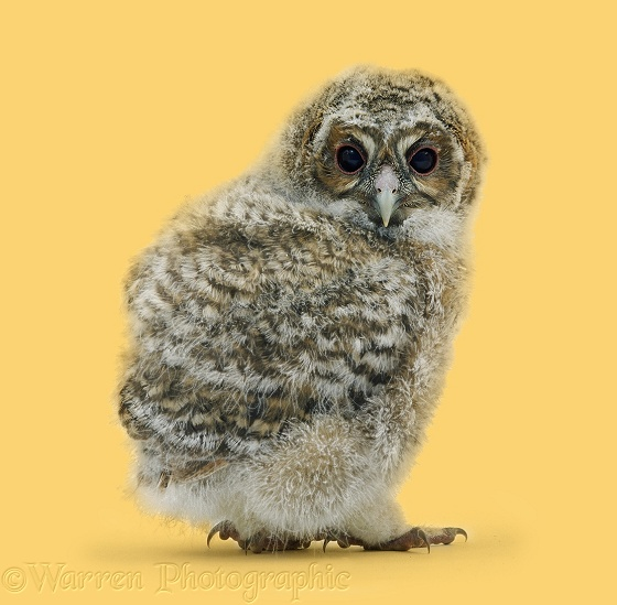Tawny Owl (Strix aluco) owlet, about 4 weeks old, first feathers showing through the down, white background
