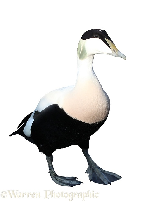 Eider (Somateria mollissima) drake, white background