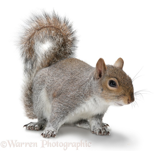 Grey Squirrel (Sciurus carolinensis), white background