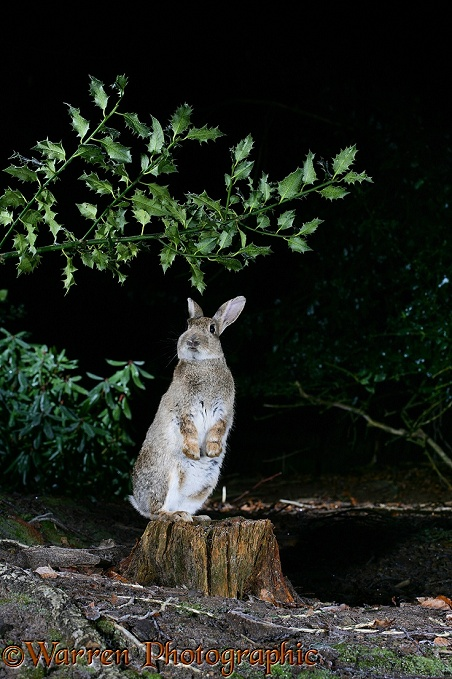 European Rabbit (Oryctolagus cuniculus) reaching up to nibble an overhanging holly branch at night