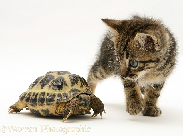Tabby kitten inspecting a tortoise, white background