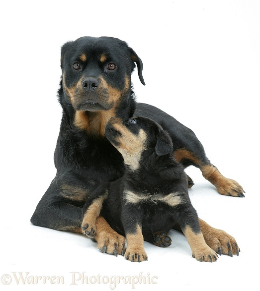 Rottweiler mother and pup, white background