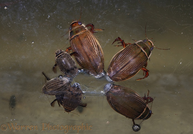 Water Beetles (Dytiscus marginalis) and (Acilius sulcatus) clustered around an air bubble trapped beneath the ice of a frozen pond