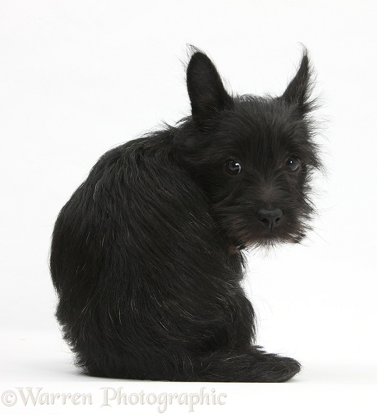 Black Terrier-cross puppy, Maisy, 3 months old, looking over her shoulder, white background