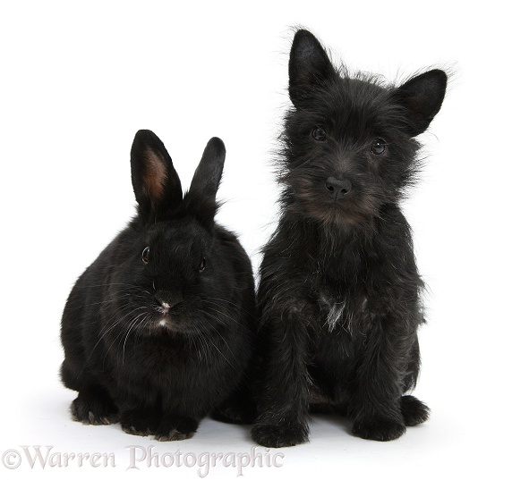 Black Terrier-cross puppy, Maisy, 3 months old, with a black rabbit, white background