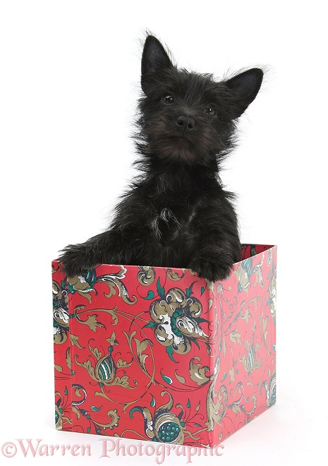 Black Terrier-cross puppy, Maisy, 3 months old, in a box, white background
