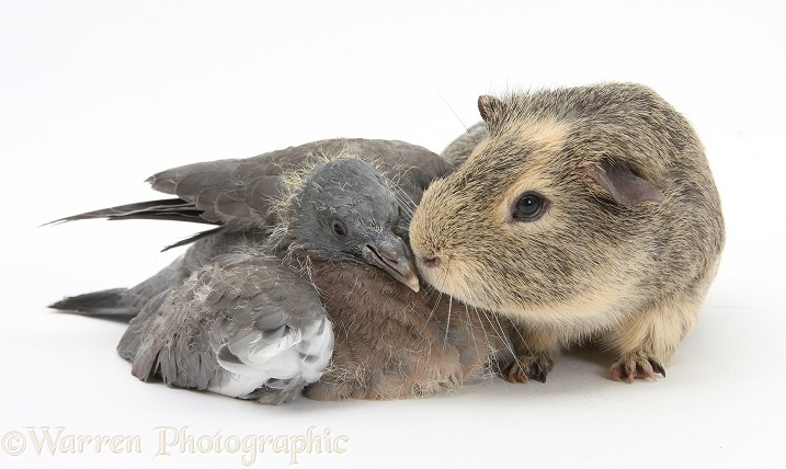 Fledgling Woodpigeon and Guinea pig, white background