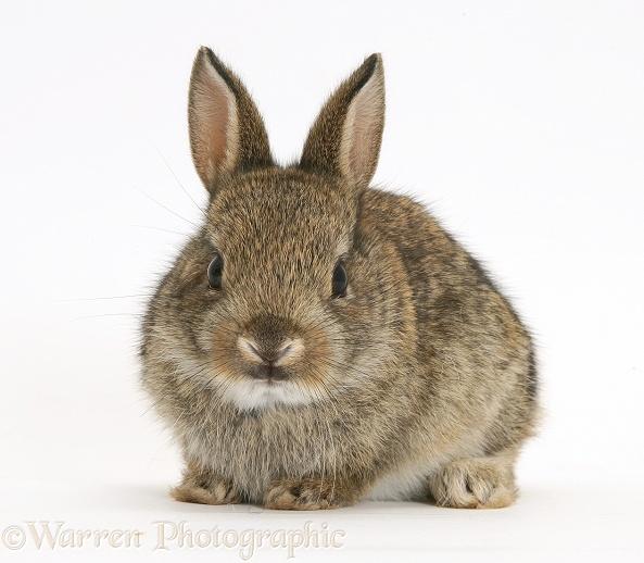 baby european rabbit photo wp21837