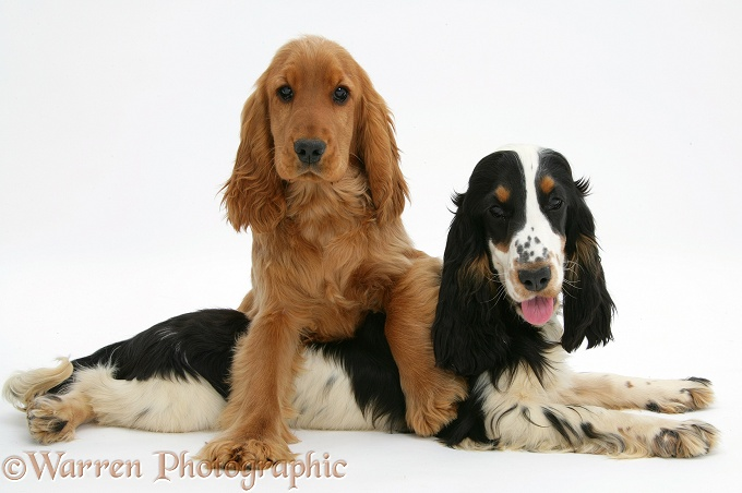 Red/Golden and tricolour English Cocker Spaniels, white background