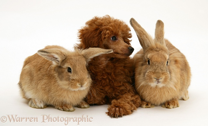 Red Toy Poodle pup, Reggie, 12 weeks old, with a Lionhead-cross rabbits, white background