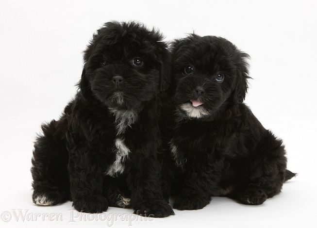 Black Pooshi (Poodle x Shih-Tzu) pups, white background