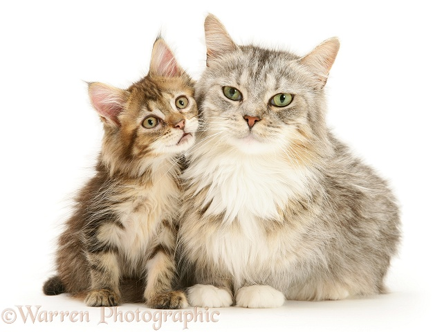 Maine Coon mother cat, Bambi, and her tabby kitten, white background