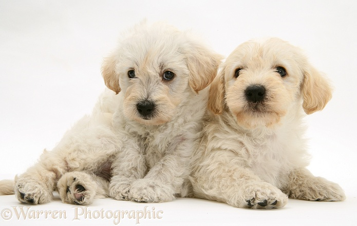Dog Cross Breeds With Poodle