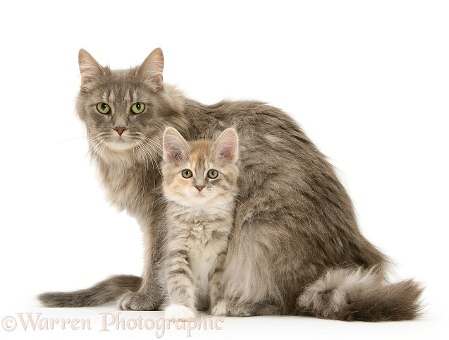 142 Maine Coon Cats That Will Make Your Cat