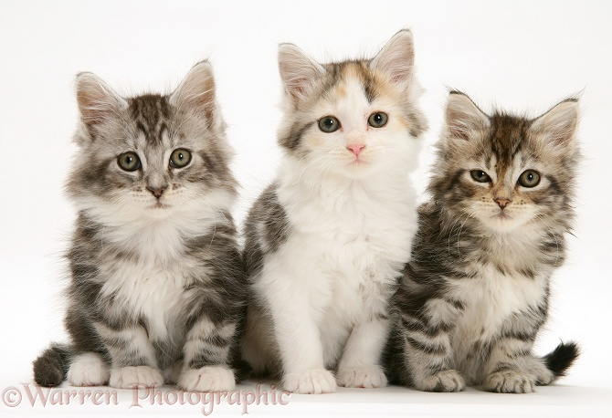 Three Maine Coon kittens, white background