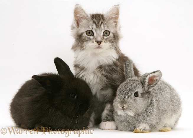 Baby Lop rabbits with silver tabby Maine Coon kitten, white background