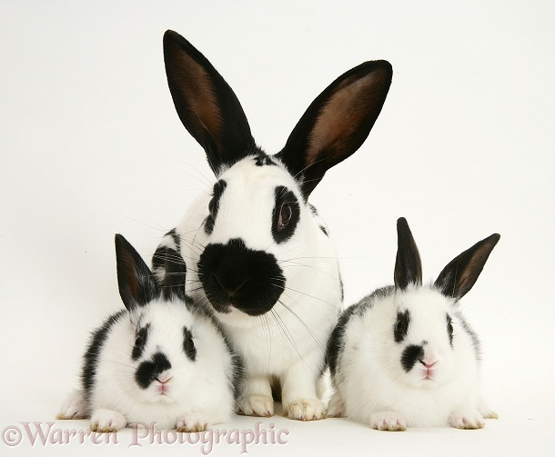 English Spotted rabbit mother and babies, white background