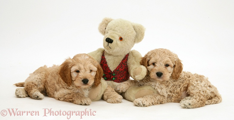 American Cockapoo puppies with a teddy bear, white background