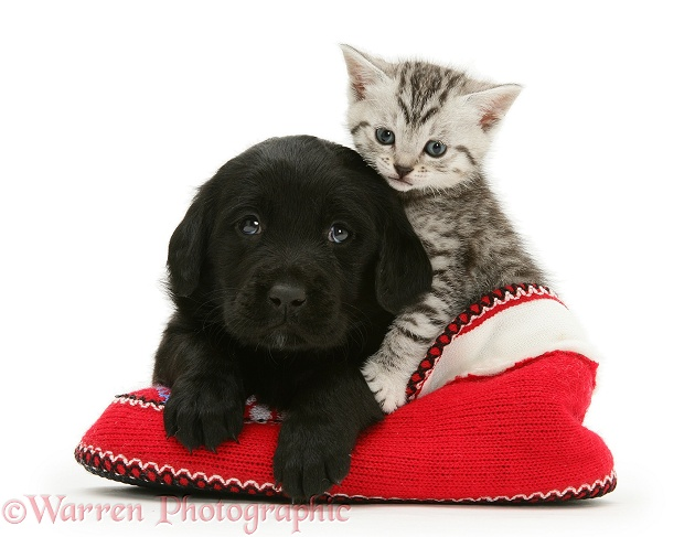 Black Goldador pup and tabby kitten in a knitted slipper, white background