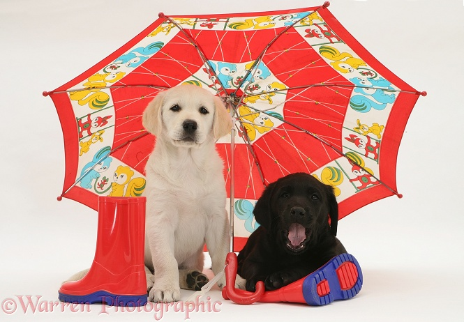 Goldador Retriever pups (Golden Retriever x Labrador Retriever) pups under a child's umbrella, white background