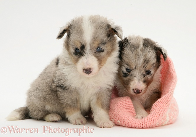 Two Shetland Sheepdog puppies, one in a knitted hat, white background