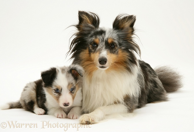Tricolour merle Shetland Sheepdog, Sapphire, with a pup, white background