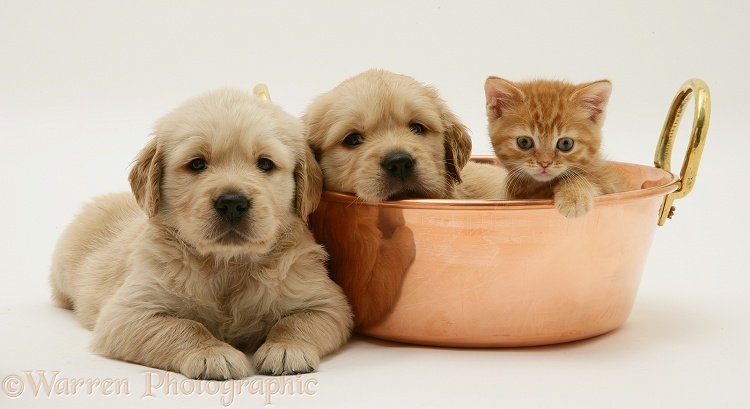 Golden Retriever pups and ginger kitten in a copper pan, white background
