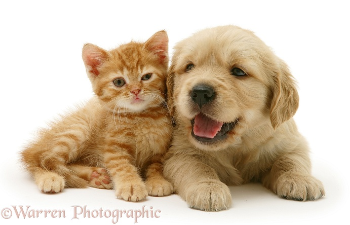 Golden Retriever pup with red spotted British Shorthair kitten, white background