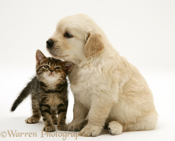 Tabby Kitten and Golden Retriever puppy, white background