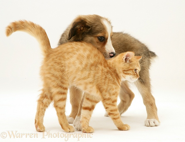 British Shorthair red tabby kitten with Sable Border Collie pup, white background