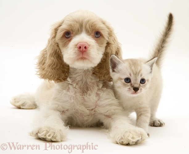 Lilac tabby-point Birman-cross kitten and lilac-and-white American Cocker Spaniel pup, Isabella, white background