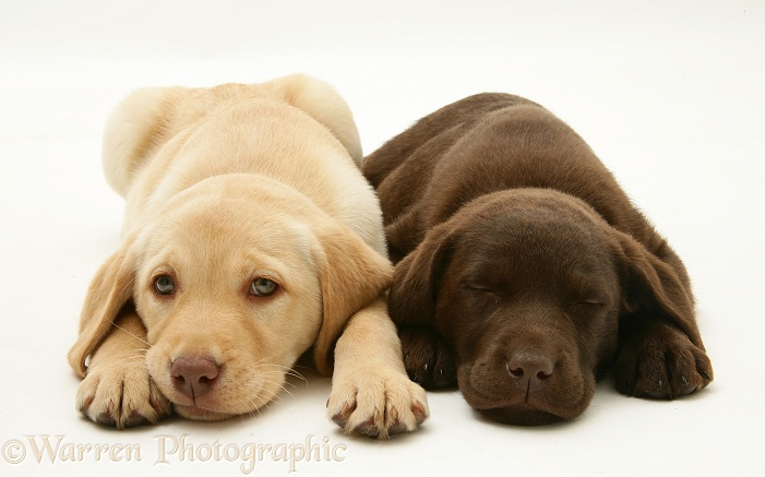 Sleepy Yellow and Chocolate Retriever pups, white background