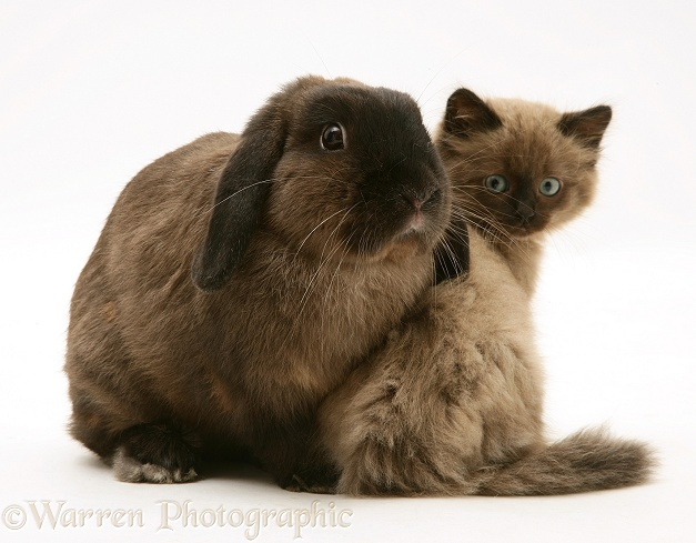 Chocolate Birman-cross kitten with chocolate Lop rabbit, white background