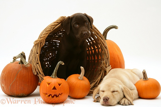 Yellow and Chocolate Retriever pups with wicker basket and pumpkins at Halloween. Yellow pup asleep, white background